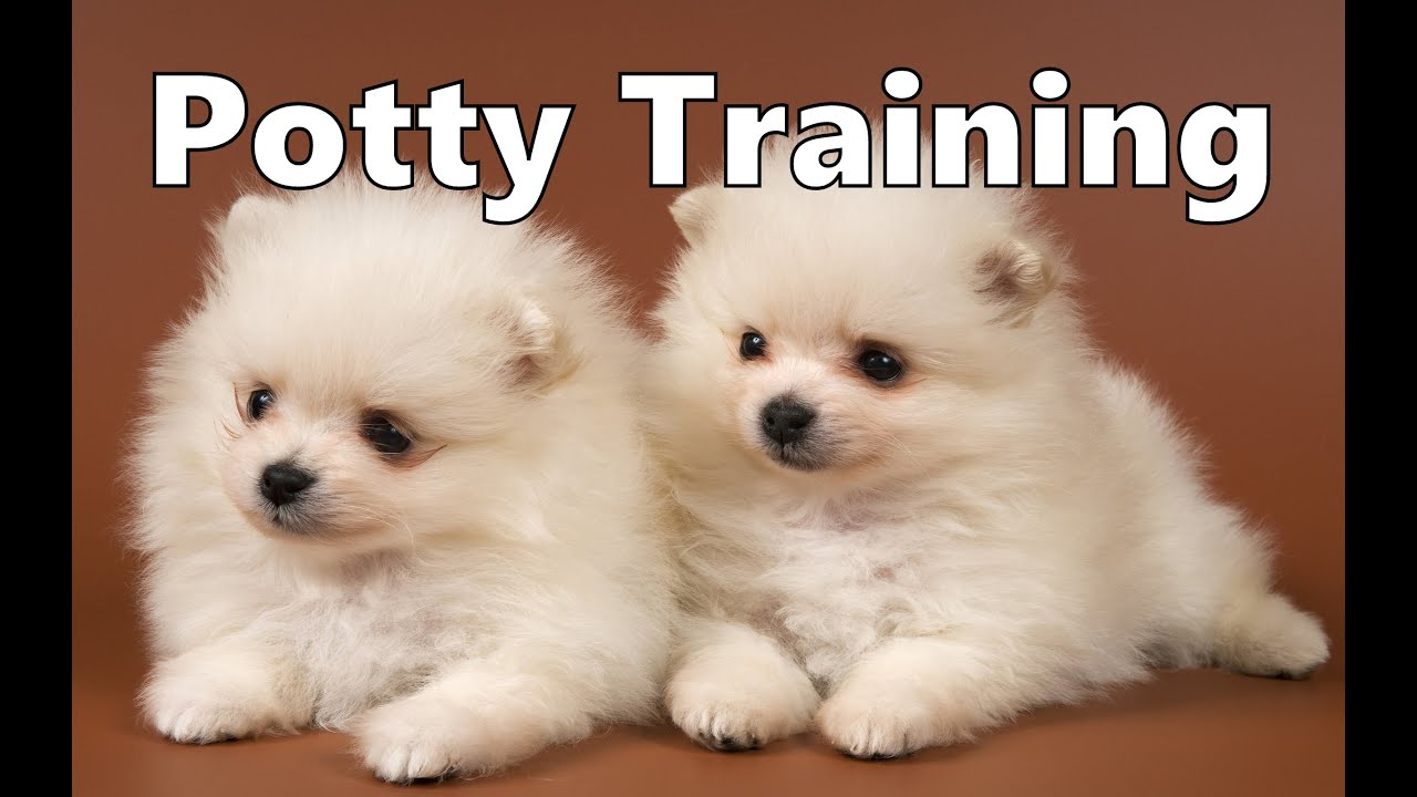 How To Potty Train A Japanese Spitz Puppy Japanese Spitz House