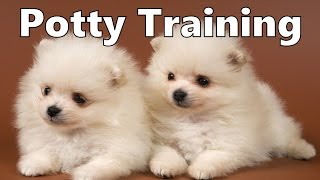 How To Potty Train A Japanese Spitz Puppy - Japanese Spitz House Training - Japanese Spitz Puppies