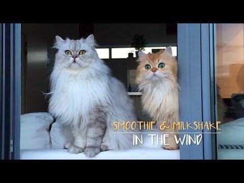 Smoothie & Milkshake In The Wind - Smoothie The Cat
