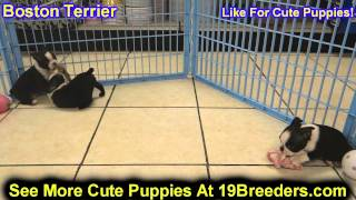 Boston Terrier, Puppies, For, Sale, In, Edmond, Oklahoma, OK, Cleveland, Comanche, Canadian, Rogers,