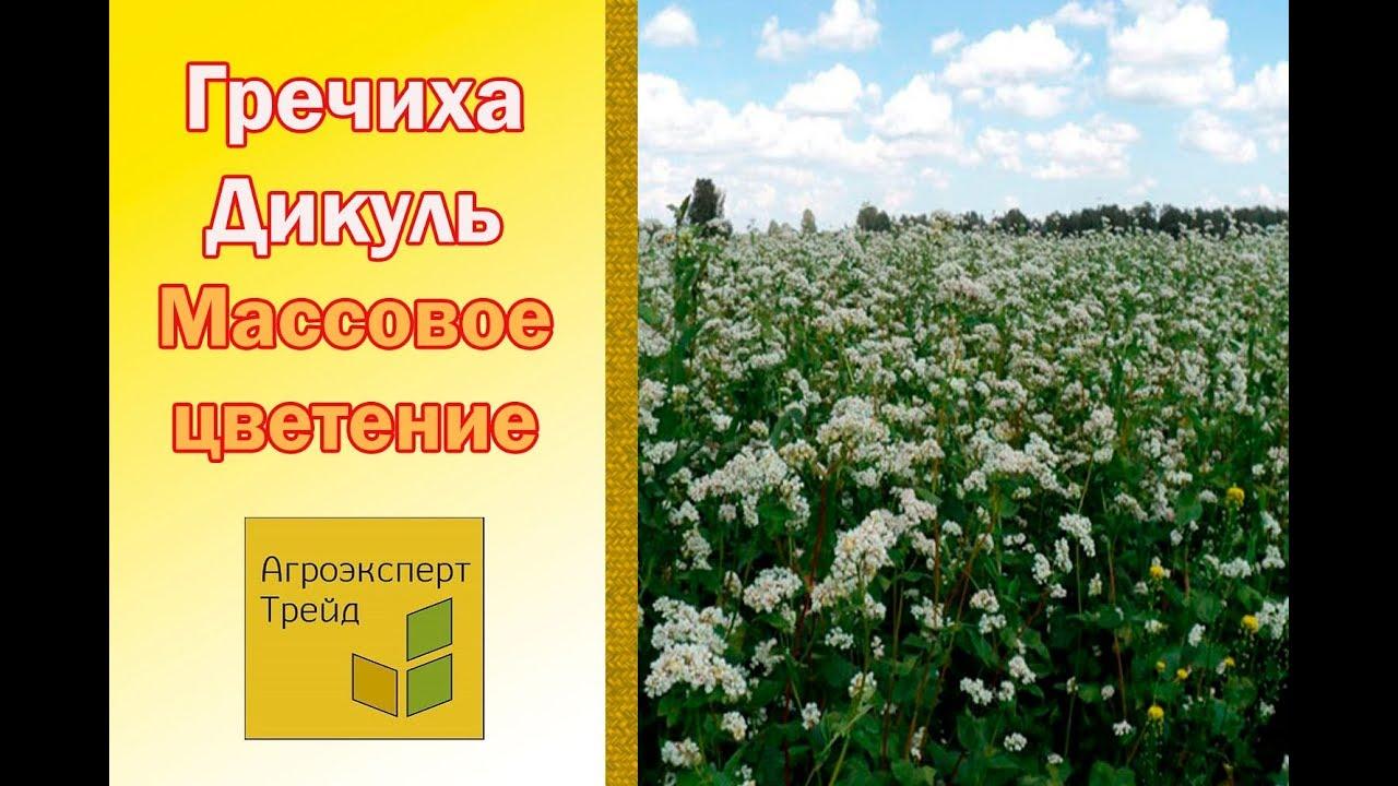 Пророщеваные зерна зеленой гречки уменьшают ферменты, которые могут трудно.