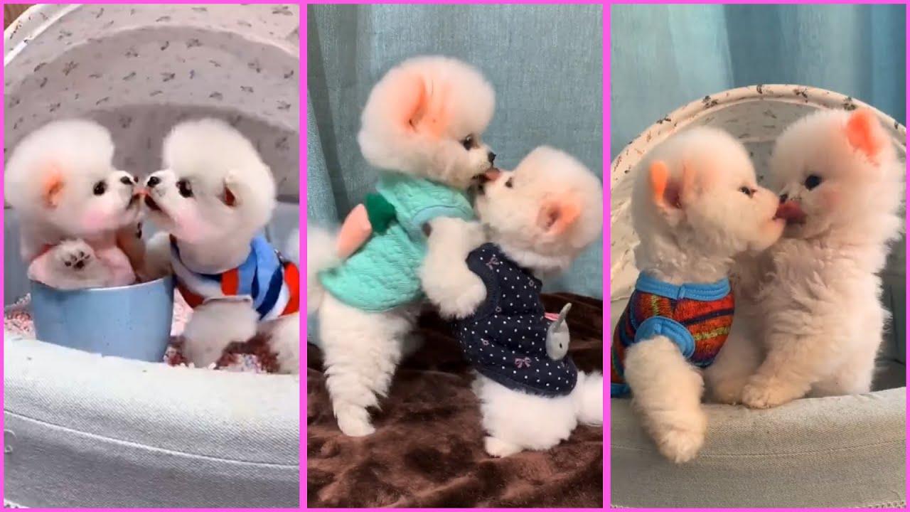 Funny and Cute Pomeranian Videos, Videos de TikTok Part 103