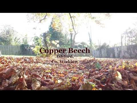 Copper Beech Ashford