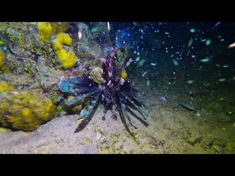Lion fish stalks and captures unsuspecting small fish