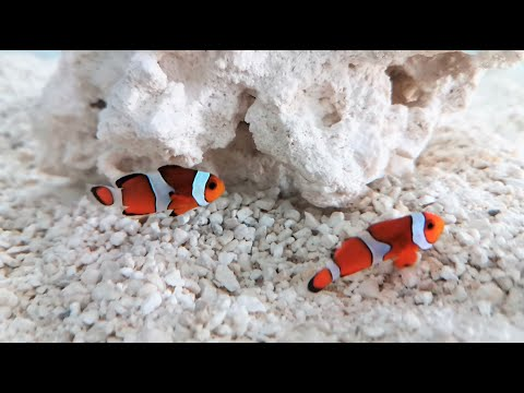 Introducing Clownfish To A New Saltwater Tank