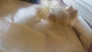 Astra: Pomeranian Durability Test on New Pee-Pad