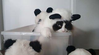 パンダのコスプレ着こなす猫、ぬいぐるみよりもぬいぐるみっぽく