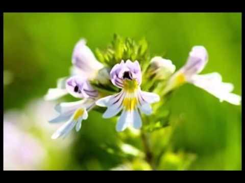 Eyebright Herb Health Benefits