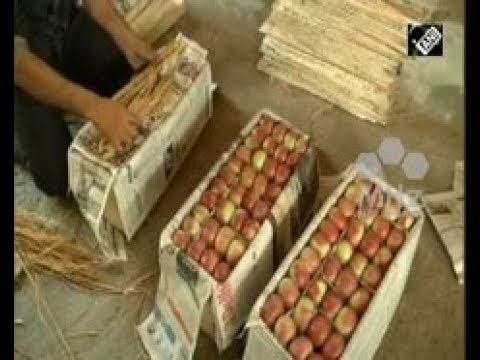 India News - Apple growers in Indian Kashmir set to reap rich dividends with bumper crop