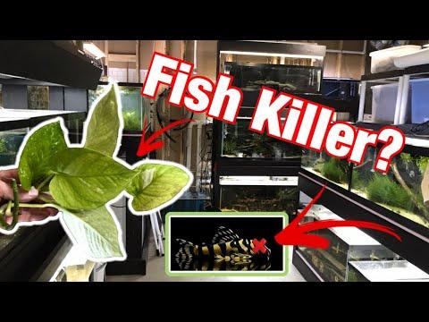 Did This Plant KILL My Fish?