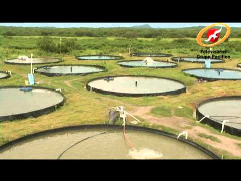 Aquagrow granja acu cola en sinaloa m xico youtube for Construccion de jaulas flotantes para tilapia