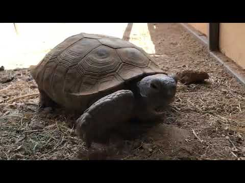 Tortoises Up For Adoption In Arizona