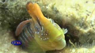 Морская собачка павлин. Salaria pavo. Peacock blenny