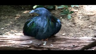 Nicobar Pigeons have some amazing plumage.