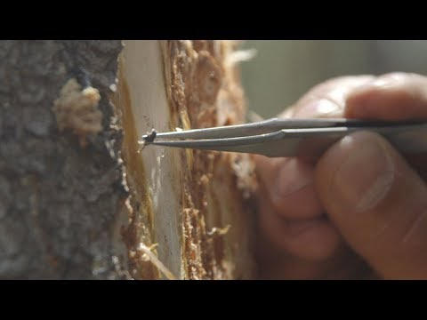 Attack Of The Bark Beetle