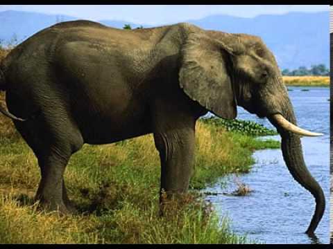 Gajah