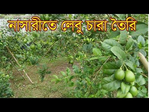 পলিথিনে লেবু চারা রোপন পদ্ধতি   How to Grow Lemon Tree   (100% success r...