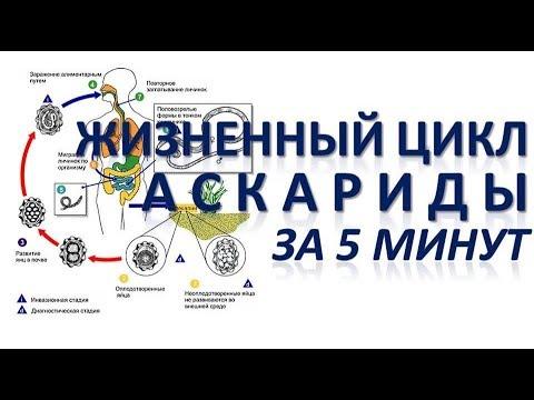 ЖИЗНЕННЫЙ ЦИКЛ АСКАРИДЫ ЗА 5 МИНУТ (+Разбор заданий)