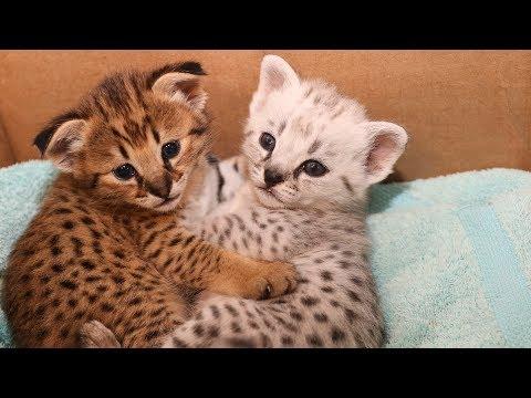Silver & Gold F2 Savannah Kittens
