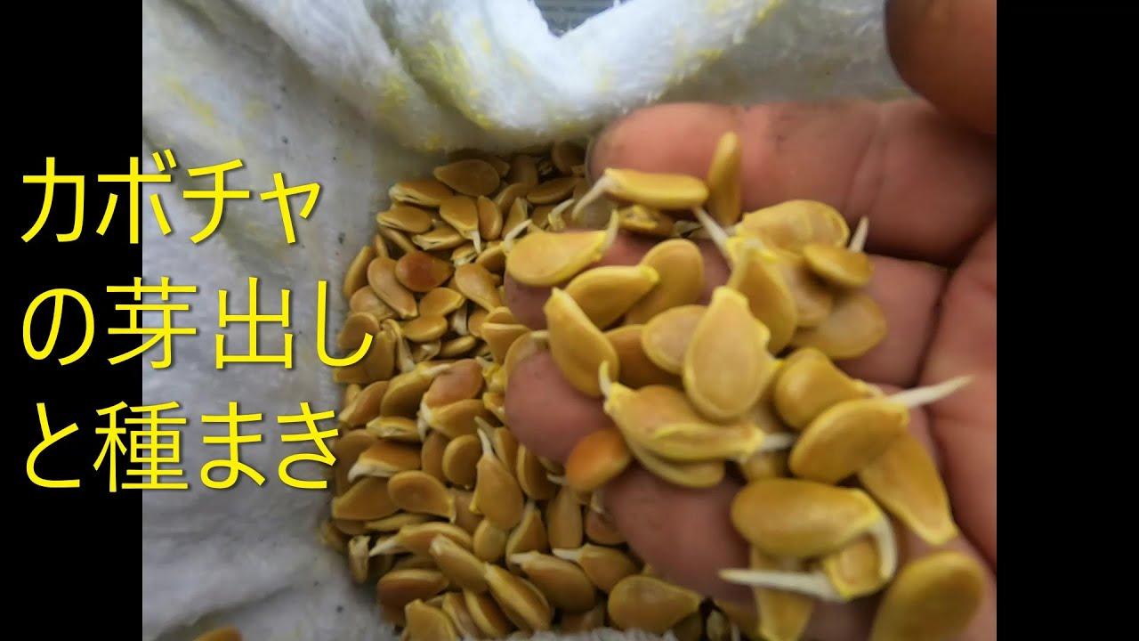 カボチャの芽出しと種まき 20,2,22