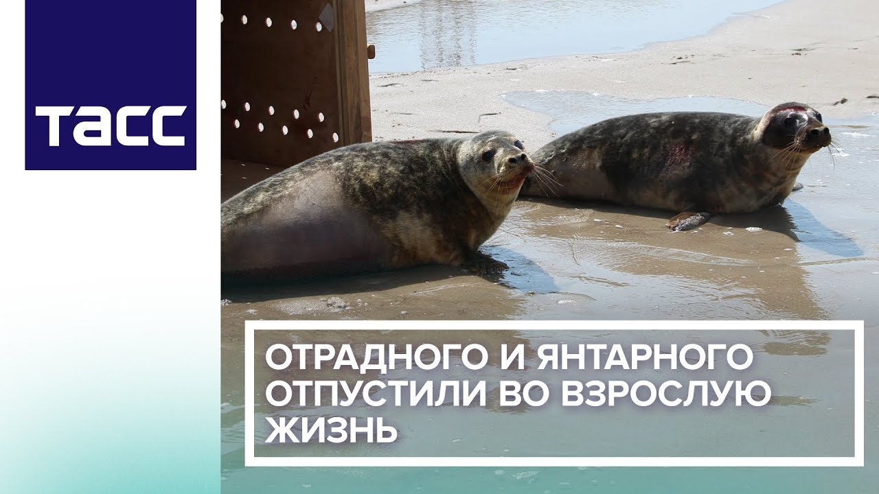 В Калининграде выпустили в море двух спасенных весной балтийских тюленей