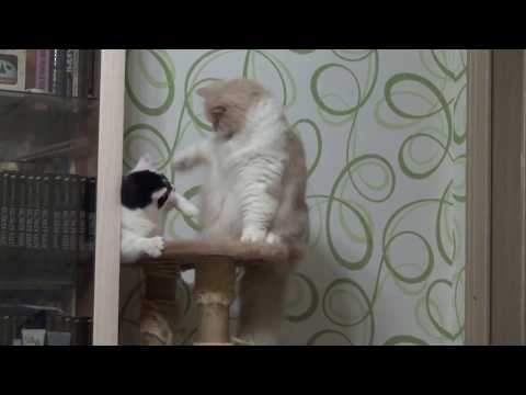 Вопрос: Получают ли коты удовольствие от драк?