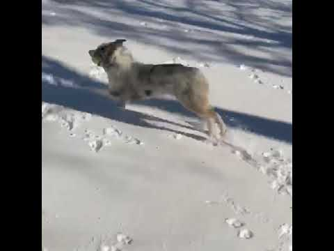 Australian Shepherd playing in the snow for the first time!