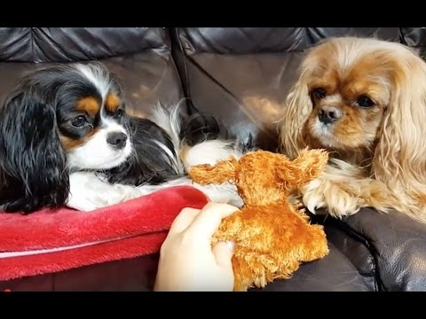 Cavalier King Charles Spaniel - Doggy toy 🐶