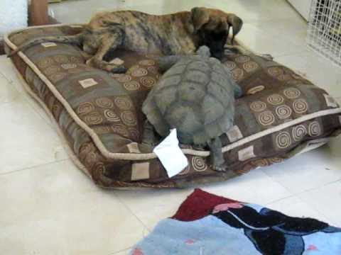 Great Dane Pup Vs 75 Year Old Tortoise Youtube