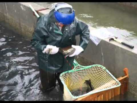 Day-to-Day Life At Quilcene National Fish Hatchery