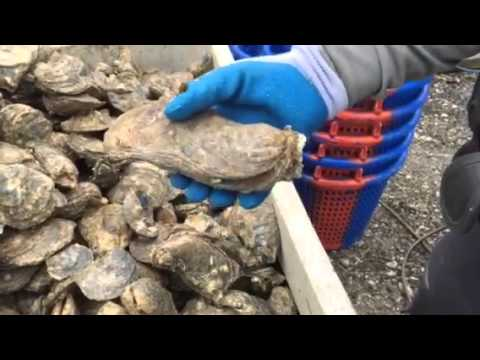Virginia Marine Police Officer Mike Morris talks about how oysters grow