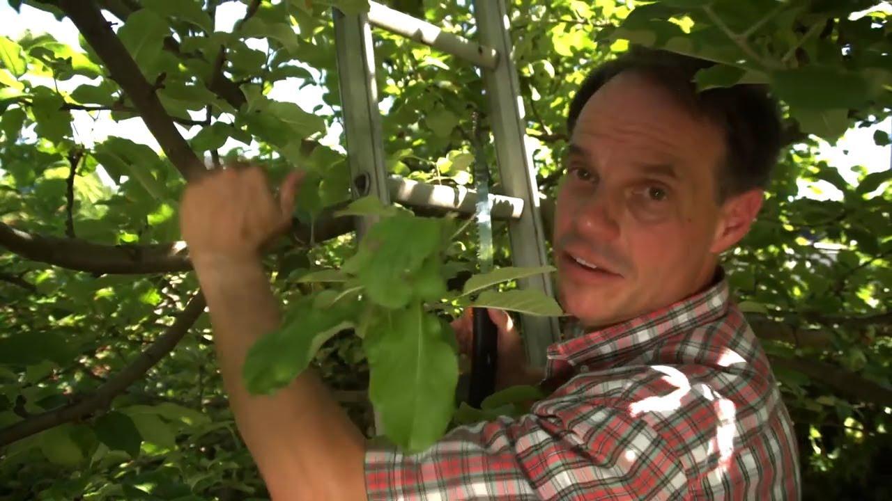 Geliebte Obstbäume schneiden - Teil 5: Sommerschnitt - YouTube &IY_45
