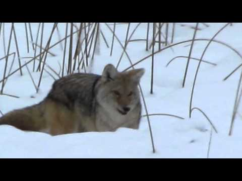 Watch a Coyote Hunting on Yellowstone Winter Snowcoach Tour