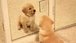 Scout - Golden Retriever Puppy Playing in the Mirror