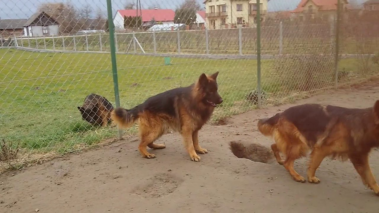 احسن كلاب جيرمن شيبرد لونج هير في العالم - YouTube