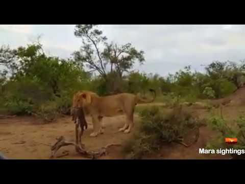 Male lions kill a baby hyena