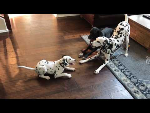 11 Week Old Dalmatian Wrestling Two Bigger Dogs