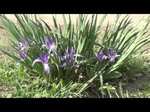 Касатик, ирис, как выглядит, сорта, выращивание