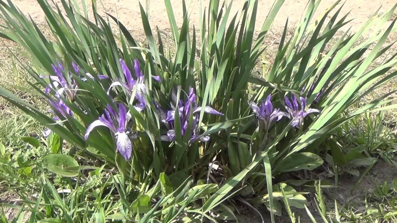 фото цветы кукушкины слезки