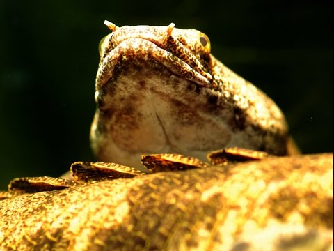 Saddled Bichir Polypterus Endlicheri Endlicher-Species Spotlight MONSTER Edition
