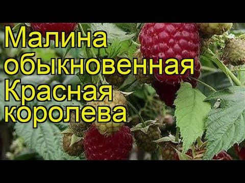 Вопрос: Какие характеристики малины пурпурноплодной (Rubus phoenicolasius)?