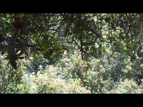 Luscinia megarhynchos song {κελαηδημα αηδονιου}