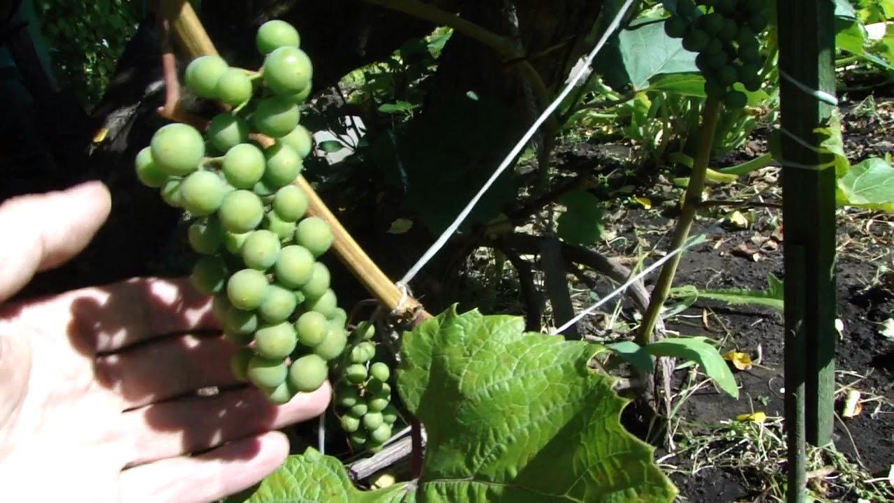 Как сажать виноград в сентябре 64