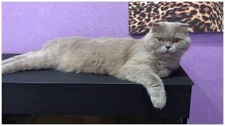 Моя Шотландская вислоухая кошка Плюша/нарезка приколов
