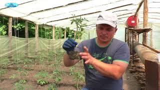 Хотите большой урожай помидоров? Сделайте эту подкормку сейчас!