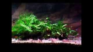熱帯魚癒しのコリドラス60cm水槽led照明 tropical fish aquarium led light