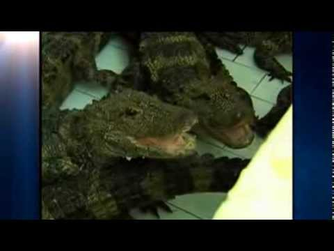 Workers Physically Move 8,000 Alligators Indoors For Hibernation
