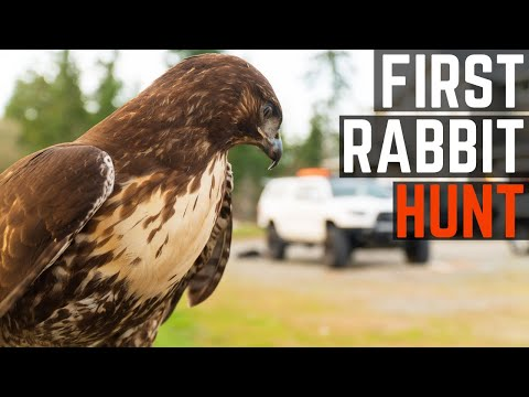 First Rabbit Hunt With My Red Tailed Hawk