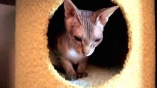 День родов котят сфинкса. Только что  родились два котенка.