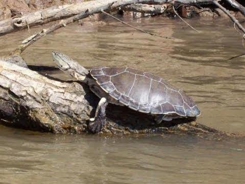 Tortugas de rio cuidados basicos youtube for Imagenes de estanques de tortugas